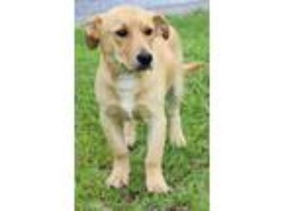 Adopt Charlie 30916 a Brown/Chocolate - with White Labrador Retriever / Mixed