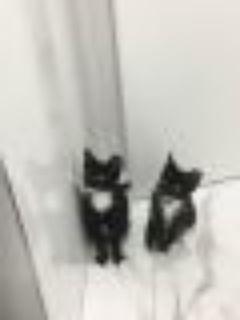 Mr Mittens American Shorthair Cat