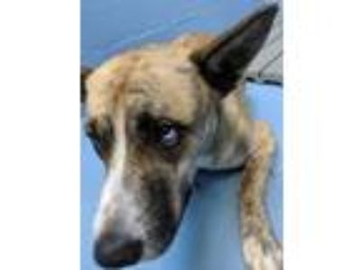 Adopt Buzz a German Shepherd Dog / Husky / Mixed dog in Mocksville