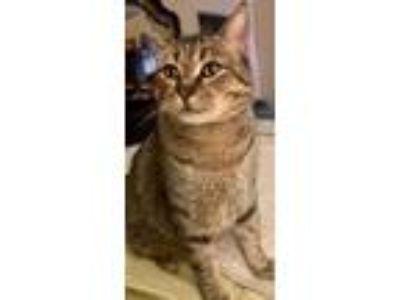 Adopt General a Brown Tabby Domestic Shorthair (short coat) cat in Oakdale