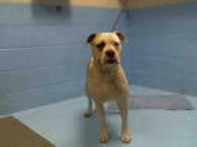 Adopt PABLO a White - with Tan, Yellow or Fawn American Pit Bull Terrier / Mixed