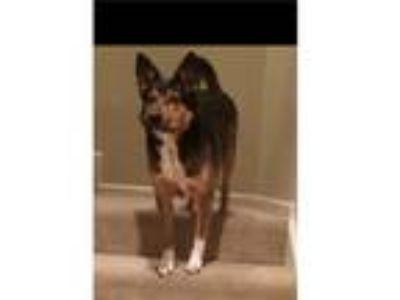 Adopt Milton a Black - with Tan, Yellow or Fawn German Shepherd Dog / Australian