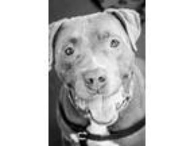 Adopt Levi a American Staffordshire Terrier