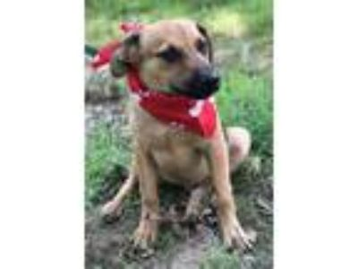 Adopt ANDY a Shepherd, Terrier