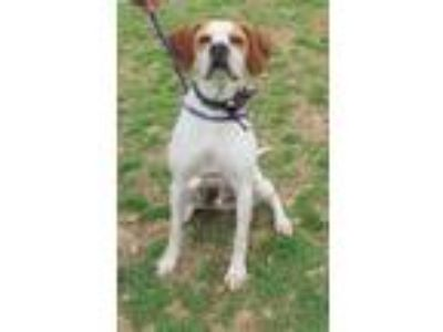 Adopt DUKE a English Pointer / Mixed dog in Franklin, TN (25879819)