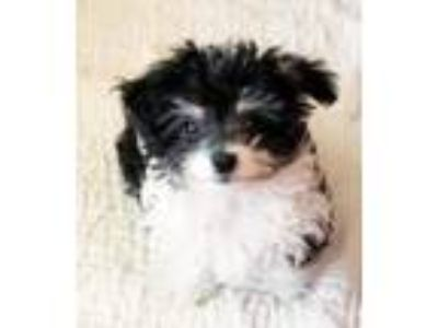 Adopt Patsy a Poodle, Terrier