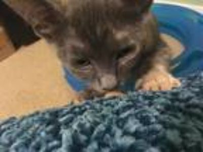Adopt Knuckles a Calico or Dilute Calico Manx / Mixed (short coat) cat in