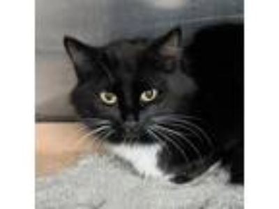 Adopt AAC#18-feb19 a All Black Domestic Mediumhair / Domestic Shorthair / Mixed