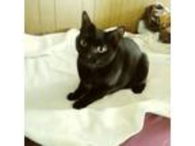 Adopt Chapel a All Black Domestic Shorthair (short coat) cat in worcester