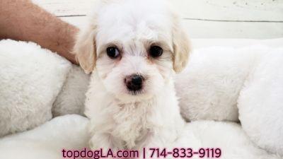 Poodle (Standard)-Maltese Mix PUPPY FOR SALE ADN-71428 - Maltipoo Female Isabella