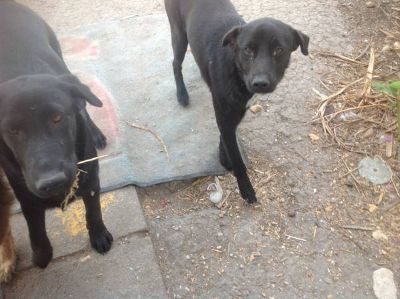 Free dog german shepard and two black baby labs