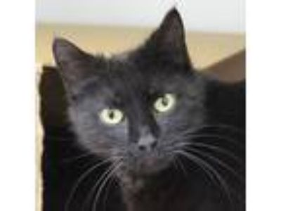 Adopt Twizzler a Domestic Shorthair / Mixed cat in Des Moines, IA (25292969)