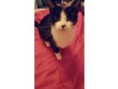 Adopt Sully a Black & White or Tuxedo Domestic Shorthair / Mixed cat in Dayton