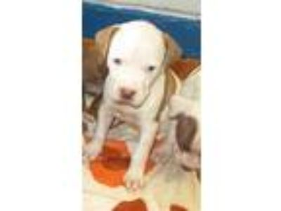 Adopt PUPPY TWO a Pit Bull Terrier