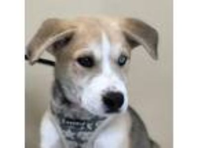 Adopt Isa a White - with Tan, Yellow or Fawn Siberian Husky / Cane Corso / Mixed