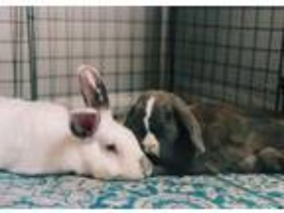 Adopt Shio and Opal (bonded pair) a Bunny Rabbit