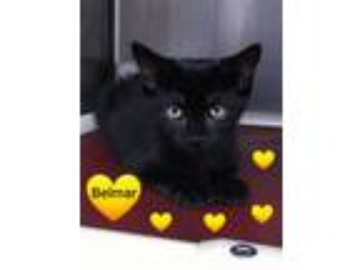 Adopt BELMAR - Sweet, friendly kitten! a Domestic Short Hair