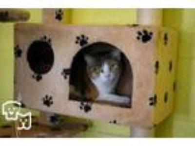 Adopt Lilly a Domestic Short Hair, Calico