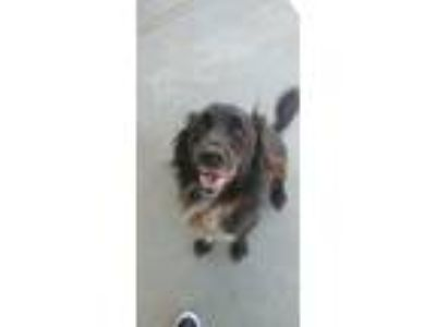 Adopt Chato a Black - with White Border Collie / Labrador Retriever / Mixed dog