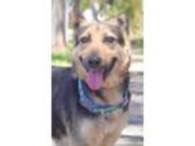 Adopt ADA a German Shepherd Dog, Australian Cattle Dog / Blue Heeler