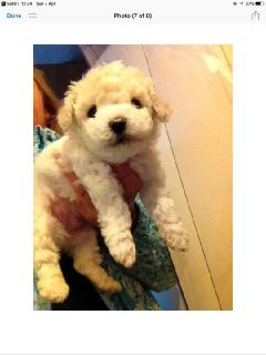 Male Bichon Frise Puppy
