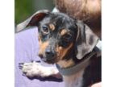 Adopt Tootsie a Black - with Tan, Yellow or Fawn Dachshund / Beagle / Mixed dog