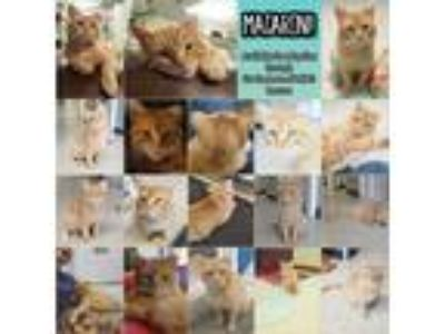 Adopt Macaroni a Orange or Red Tabby Domestic Shorthair (short coat) cat in