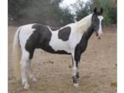 Adopt Gemini a Paint Paint/Pinto / Mixed horse in Solvang, CA (20755254)