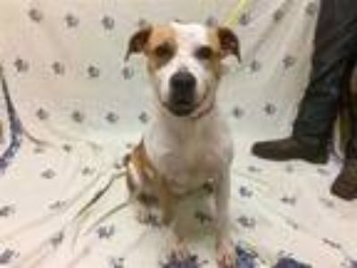 Adopt I HAVE A MICROCHIP a Brown/Chocolate - with White Beagle / Mixed dog in