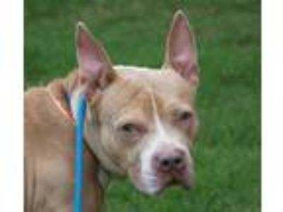 Adopt Calvin a Brown/Chocolate American Pit Bull Terrier dog in Douglasville