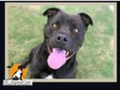 Adopt ZERO a Pit Bull Terrier