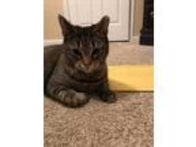 Adopt Courtesy listing -Puddy a Domestic Short Hair
