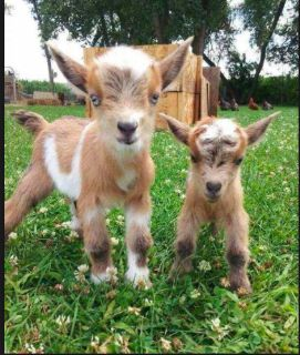 3 baby goats for free
