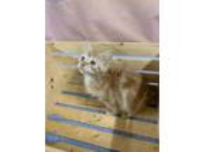 Adopt DOS a Orange or Red Domestic Mediumhair / Domestic Shorthair / Mixed cat