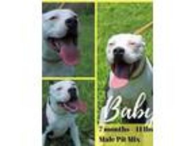 Adopt Baby - Foster or Adopter Needed! a Pit Bull Terrier