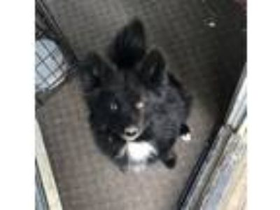 Adopt Bailey a Black - with White Pomeranian / Husky / Mixed dog in