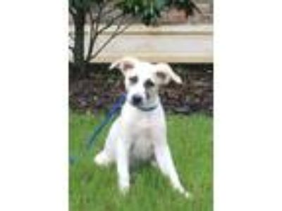 Adopt Annabelle - drop dead gorgeous puppy a Great Pyrenees