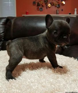 French Bulldogs Puppies For Sale Now At Affordable Price