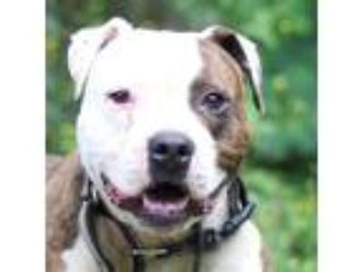 Adopt Bocephus a White - with Tan, Yellow or Fawn Pit Bull Terrier / American