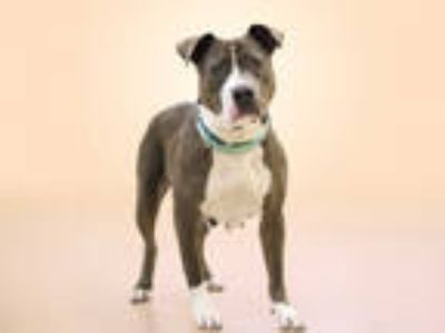 Adopt JUNE a Gray/Silver/Salt & Pepper - with White American Pit Bull Terrier /