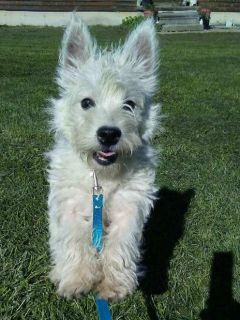 Wes ACA Male West Highland Terrier