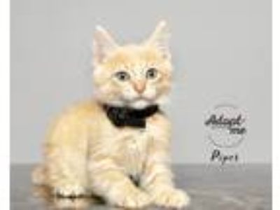 Adopt Piper a Orange or Red Tabby Domestic Shorthair (short coat) cat in