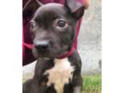 Adopt Sydney a American Staffordshire Terrier, Pit Bull Terrier