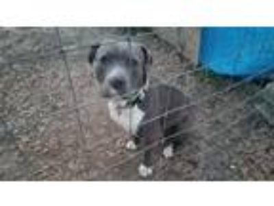 Adopt Harley a Gray/Silver/Salt & Pepper - with White Pit Bull Terrier / Hound