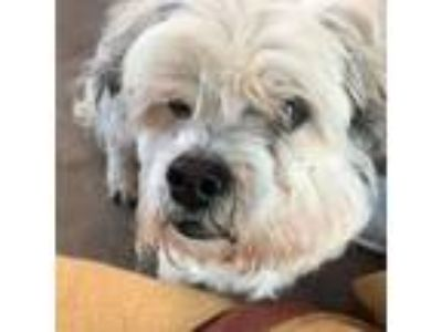 Adopt Billy a Shih Tzu, Terrier