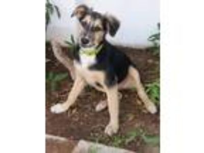 Adopt Stryker a Black - with Tan, Yellow or Fawn German Shepherd Dog / Saluki /