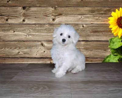 Lyle is a12 week old Bichon Frise Male
