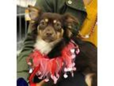 Adopt Reeses a Brown/Chocolate - with Tan Spaniel (Unknown Type) / Mixed dog in