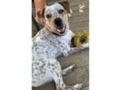 Adopt Shadow a Australian Cattle Dog / Blue Heeler