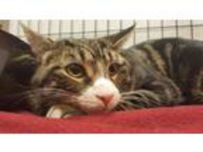 Adopt Christopher a Brown Tabby Domestic Shorthair / Mixed cat in Flushing